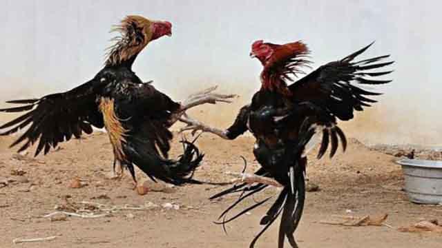 Cara Daftar Sabung Ayam S128